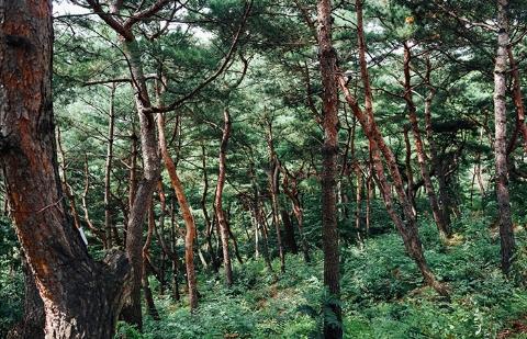 남산 소나무 힐링숲