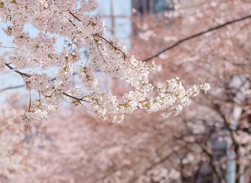 서울에 살고, 서울을 직접 경험한 외국인들이 추천하는 숨겨진 벚꽃 명소!