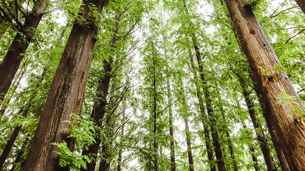 양재시민의 숲 메타세쿼이아나무의 모습