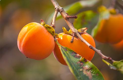 가을철 대표과일 중 감나무 사진