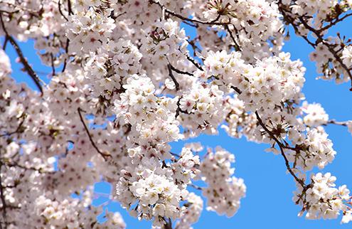 櫻花樹盛開的照片